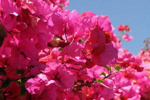 mindfulnessforliving_pinkflowers